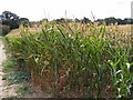 TM3775 : Maize Crop off the B1117 Halesworth Road by Adrian Cable