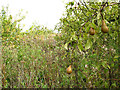 TR0557 : Overgrown pear orchard at Selling by Stephen Craven