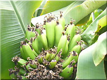 NJ9304 : Bananas Growing in Aberdeen by Colin Smith