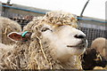 TQ9534 : Sheep at Rare Breeds Centre, Woodchurch by Oast House Archive