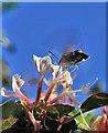 SC1968 : Hummingbird Hawk Moth and Honeysuckle by Andy Stephenson
