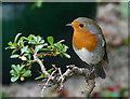 NH9184 : Robin in my garden. by sylvia duckworth