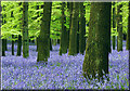 SP9714 : Wall to wall Bluebells, Dockey Wood, Ashridge Common by Cameraman