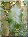 TG0524 : Holly Leaf by Adrian Cable
