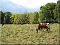 SP3177 : Cattle at Canley Ford by E Gammie