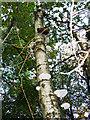 SU1789 : Polypore fungi on a birch, Stanton Park, Swindon by Brian Robert Marshall