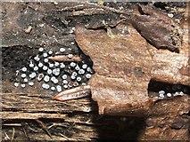 NS3977 : A slime mould - Physarum leucophaeum by Lairich Rig