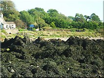 NX6548 : Rocks covered in seaweed by Ann Cook
