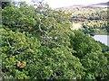 NN8659 : Oak trees above the Tummel by Maigheach-gheal
