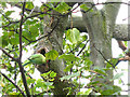 TQ3976 : Greenwich Park: parakeet's nest by Stephen Craven