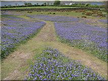 NY1618 : Bluebells Rannerdale by John Proctor
