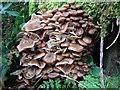SN0134 : A clump of honey fungus (Armillaria mellea) by ceridwen