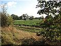 TG2600 : Sugar beet crop south of Dove Lane by Evelyn Simak