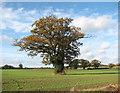 TG2600 : Solitary oak in field west of Leavy Oak Lane by Evelyn Simak