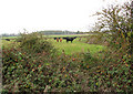 TM3098 : Cattle pasture north-east of Kirstead Hall by Evelyn Simak