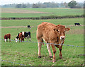 TM3098 : Cows and calves in pasture by Evelyn Simak