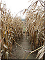 TM3198 : Footpath through a crop of maize by Evelyn Simak
