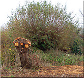 SP3365 : Pollarded willows beside the River Leam, Newbold Comyn Park by Andy F