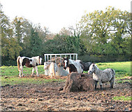TG2103 : Ponies in pasture north of Mangreen Hall Farm by Evelyn Simak