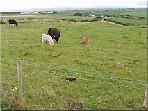 C9444 : Fields and cattle near Giant's Causeway by David Hawgood