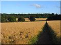 SU6515 : Bridleway through barley, Hambledon by Andrew Smith