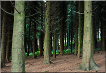 J4477 : Conifers, Cairn Wood near Belfast (1) by Albert Bridge