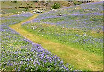 NY1618 : Pathway through the Bluebells in Rannerdale by Cameraman