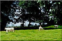 N0720 : Strawberry Hill - Eamonn Cuniffe's cattle grazing by Joseph Mischyshyn