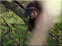 N8409 : North American Mink by IrishFlyFisher