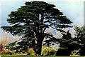 O2245 : Malahide Castle - Awesome tree near castle by Joseph Mischyshyn