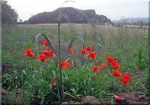 SK4463 : Poppies west of the motorway by Trevor Rickard