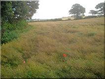 SK4463 : Ripening rape crop west of Hardwick Park by Trevor Rickard