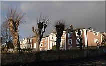 SX9265 : Pollarded trees, Babbacombe by Derek Harper