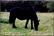 R4460 : Bunratty Folk Park - Grazing Horse - Site# 20 by Joseph Mischyshyn