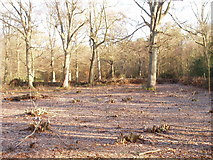 TQ0084 : Hazels recently coppiced in Black Park by David Hawgood