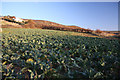 SW5429 : Cauliflower field near Perranuthnoe by Bob Jones