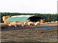 TF7804 : Free-range pigs having a rootle in front of their straw bale house by Evelyn Simak