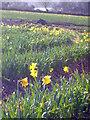 SW7828 : Daffodil field at Nansidwell by Rod Allday