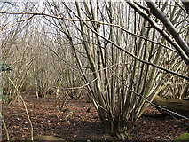TQ2156 : Coppicing in Downs View Wood by Stephen Craven