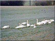 ST9102 : Grazing swans near Tarrant Crawford by Maigheach-gheal