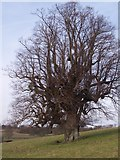 TQ5344 : Oak Tree near Well Place Farm by David Anstiss