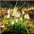 SM8527 : Snowdrops in the sun by Jonathan Billinger