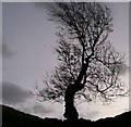 NY7914 : Ash tree  at Brough castle by rod collier