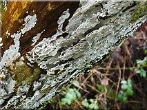 NS3878 : Elder Whitewash (Hyphodontia sambuci) by Lairich Rig