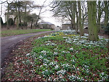 SE5971 : Snowdrops & aconites behind All Saints Church, Brandsby by Les Shaw