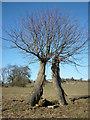 SD5375 : Pollarded trees, Dalton Park by Karl and Ali