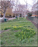 TQ2780 : Daffodils just opened in Hyde Park by David Hawgood