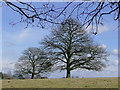 SO8280 : Oak trees in pasture near Blakeshall, Worcestershire by Roger  Kidd