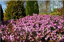 SJ7243 : Heather at Bridgemere Garden World by Steve Daniels