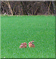 TM1780 : Two hares holding a conference by Evelyn Simak
